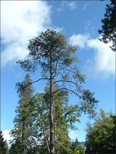 Mexican-Pine