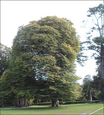 cut-leaf-beech