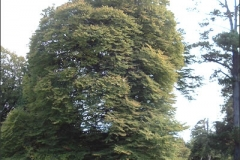 cut-leaf-beech