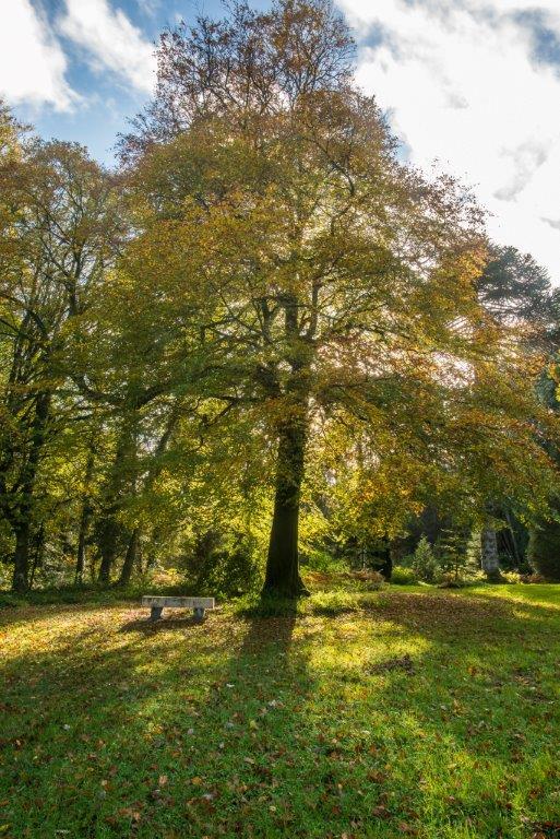 Single Ash Tree in Summer